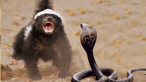 平头哥为什么会看淡生死?遇到再大的动物,也不退缩!