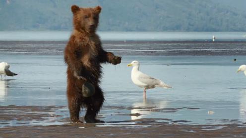 小棕熊被贝壳给夹住了,起身转着圈圈找妈妈,和熊孩子一模一样