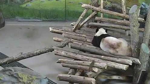 大胆松鼠竟然袭击熊猫,接下来请忍住别笑,镜头拍下全过程