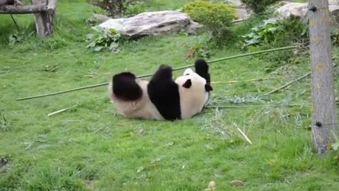 现实版功夫熊猫,千万别让外国人看到,不然就更解释不清了!