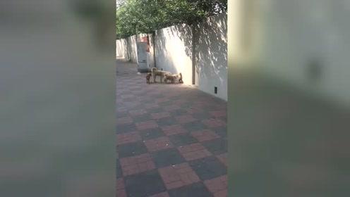 狗狗越狱现场,真的好担心最后一只会过不去!