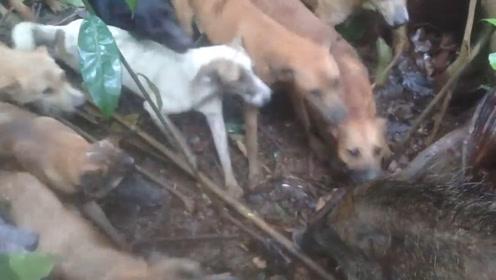 野猪被几十条猎犬围攻,竟然完全不慌,甚至还先发动攻击