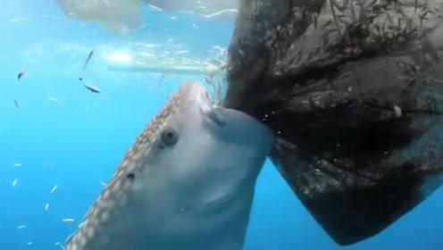 鲨鱼发现捕鱼网有洞,它朝着鱼网狂吸的举动,让渔民心塞