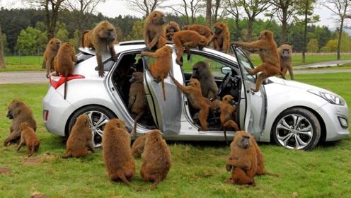 男子停车被一群猴子围攻,抢完东西后,还差点把汽车给拆了!
