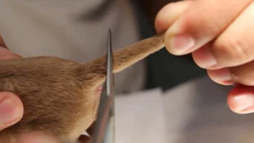 为什么有的狗狗出生后,必须要把尾巴剪掉?网友直呼太残忍了
