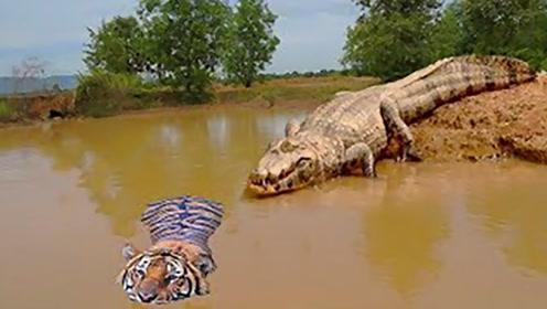 两个王者擦肩而过,老虎游泳时遇3米巨鳄,会发生什么情况?