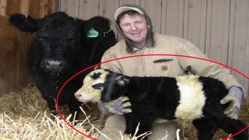 迷你小牛,狗一样大小现在这种牛也只适合当宠物来养了!