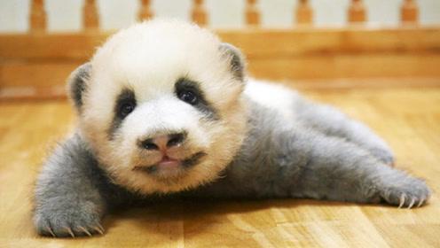 """这只熊猫宝宝不一般,烫头染发还穿灰色""""皮夹克"""""""