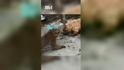 """熊猴真""""熊""""!国家一级保护动物熊猴溜进村庄 露出尖牙挑衅小狗"""