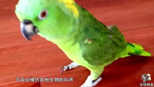 主人出门没带鹦鹉,气愤的它在家模仿主人,简直不要太搞笑了