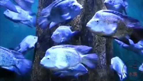 鱼缸里的绿巨人,很凶猛的观赏鱼,德州豹鱼好养吗?
