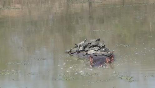 女子发现河里有群乌龟晒太阳,掏出手机拍照,看清后扭头就跑