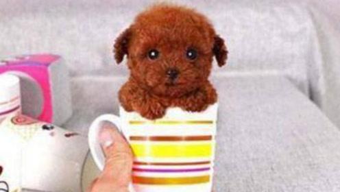 买了一只茶杯泰迪,却被母亲养成了茶缸子泰迪,网友欲哭无泪