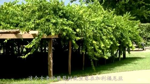 """全球最""""长寿""""葡萄树,活了176年也没有衰败,年产量高达七吨"""