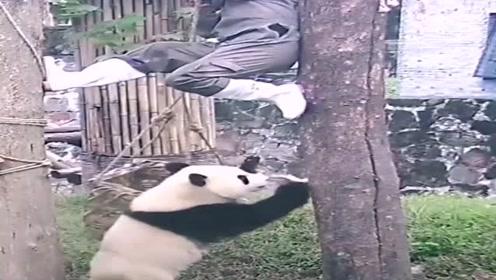 国宝缠上了饲养员,躲都躲不掉,熊猫:向甩了老子没门!