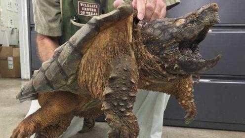 """村民抓一只""""大龟"""",怕是稀奇物种不敢吃,专家:赶紧杀了"""