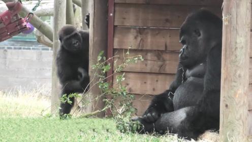 """大猩猩父亲遇上""""熊孩子"""",表情一脸无奈,看完我笑了一天!"""