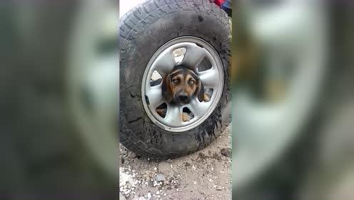 流浪狗头被卡在车轮里救援人员用凡士林将其解救