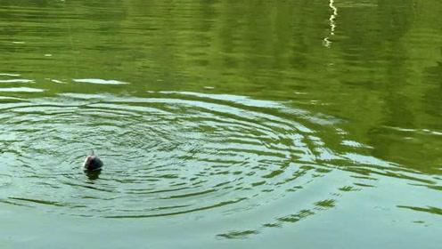 本来想去野外钓草鱼,美女却上了条青鱼,看着这体型钓友笑了!