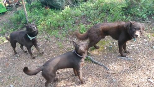 三只狗狗演技炸裂,一动不动就像雕塑,就差主人的一声号令!