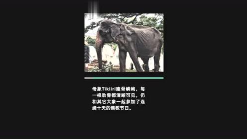 心碎!被奴役70年的瘦弱母象去世,生前被迫盛装游行