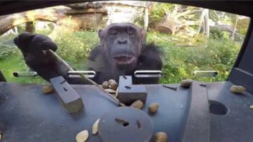 猩猩究竟有多聪明?老外设置喂食机测试,一起来看看!