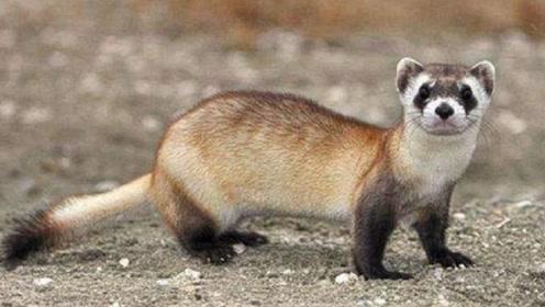世界上和熊猫一样珍贵的动物,同样有着黑眼圈,如今濒临灭绝