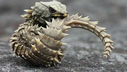 这种动物头部酷似'龙',受到惊吓就会咬自己的尾巴
