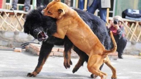 中国的藏獒和美国的比特犬,谁更厉害?看完忍不住自豪!