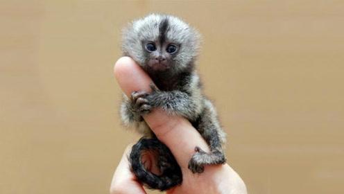 """最萌的""""拇指猴"""",出生仅蚕豆大小,却被当做不祥之物"""