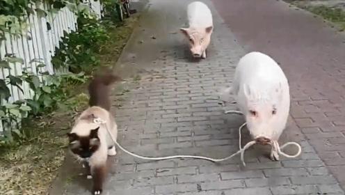 两头猪牵着猫咪遛弯,画面毫无违和感,网友:太有爱了