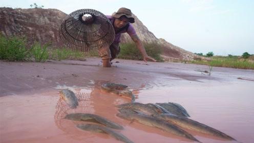 野外水坑干涸好多鱼啊,农村兄弟徒手抓鱼,根本停不下来啊