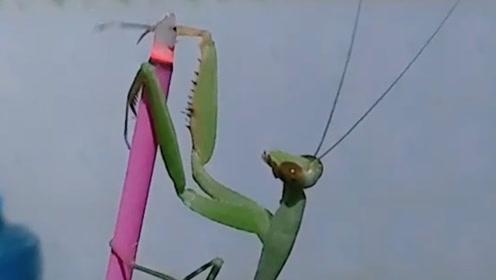 这螳螂够狠的啊,它也没吃过螳螂肉,结果把自己给烤了