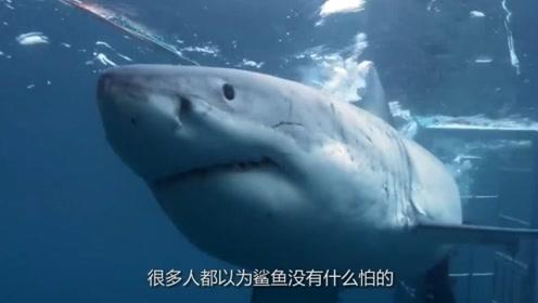 鲨鱼什么都吃为何偏偏不吃海豚?鲨鱼:不是我不吃,而是我不敢吃