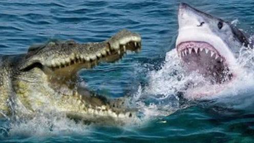 鲨鱼VS鳄鱼,到底谁能更胜一筹?看完大开眼界!