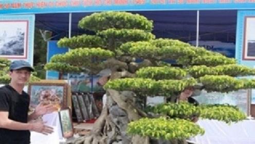 小伙精心照顾买来的盆景树,10年过去,如今价格超过700万