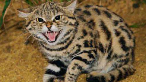 """世界上最""""要命""""的小猫,长相娇小可爱,却可yi秒杀一头羊"""