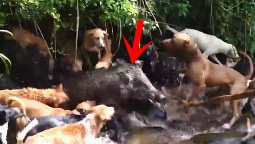 几十条猎狗对着河里狂咬,主人凑近一看,瞬间乐坏了!