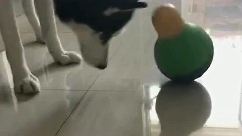 这狗跟它干起来了,哈士奇还让我说什么好啊,真是一条傻狗!