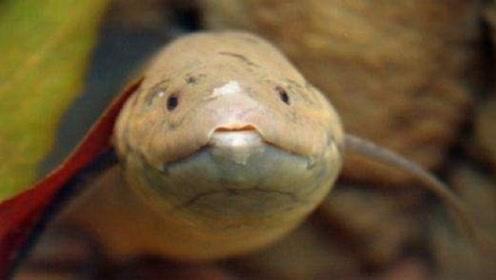 世界上对自己最狠的鱼,专家解剖后发现:为了生存吃掉一半身体