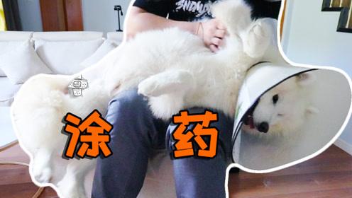 萨摩耶术后在家养伤,上药的时候可乖了,趴在主人腿上一动不动