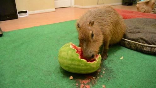 水豚吃西瓜有多快?看到这啃食速度,网友:没有感情的吃瓜机器!