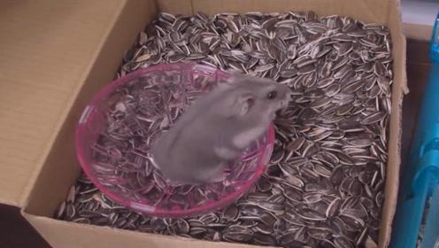 把仓鼠丢进一箱葵花籽中,下一秒憋住别笑,镜头拍下全过程