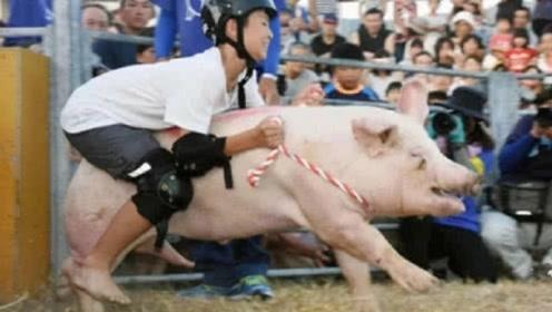 """日本独创爆笑""""骑猪""""大赛,参赛者被猪拱得,躺在地上起不来!"""