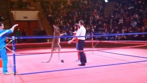 拳击手和袋鼠比赛,被打到毫无还手之力,一旁的裁判一起遭殃!