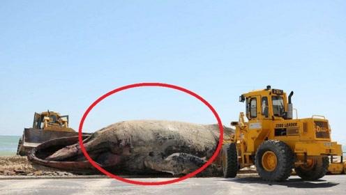 7吨重的鲸鱼意外搁浅,救援过程中突然爆炸?知道原因后心痛不已