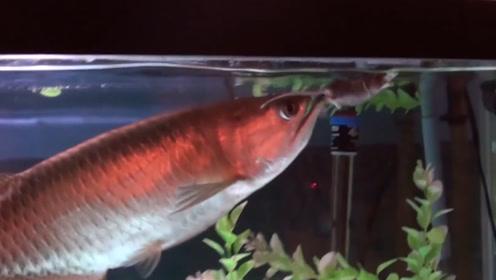 龙鱼攻击性有多猛?放一只老鼠到鱼缸,来不及反应,老鼠就被下肚