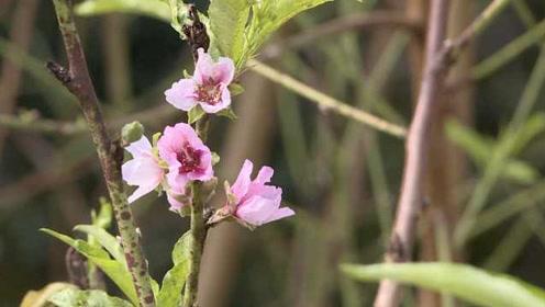 福建桃花10月盛开,专家:是一种反常现象,与气候异常有关
