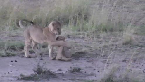 一只走丢的小狮子,在草原上无助的喊妈妈,下一秒的场景让人感动