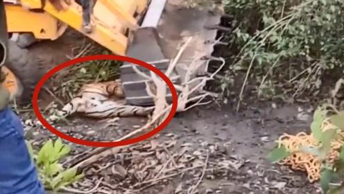 老虎作死挑衅推土机,被一铲子拍在地上起不来,这下不敢造次了